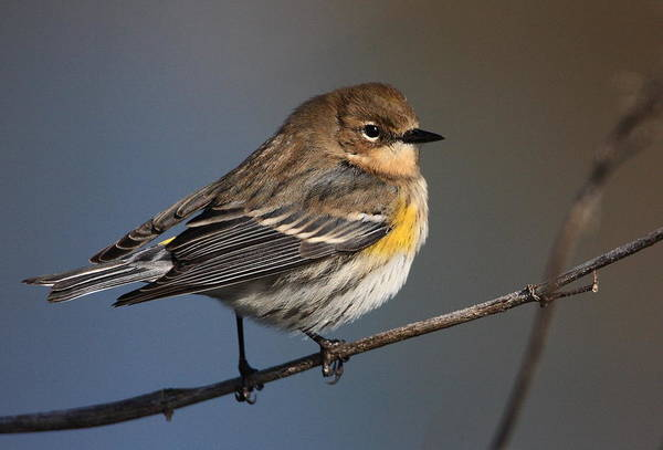 Four Wheeler Photograph - Yellow-rumped Warbler by Old Four Wheeler Billingsley