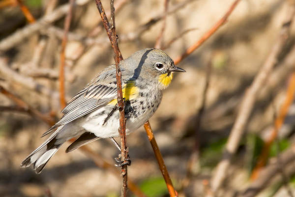 Yellow-rumped Warbler Photograph - Yellow-rumped Warbler On A Willow by Kathleen Bishop