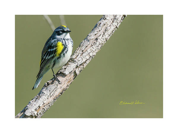 Photograph - Yellow-rumped Warbler Perching by Edward Peterson