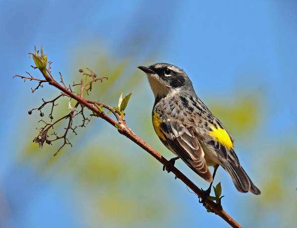 Photograph - Yellow Rumped Warbler by Rodney Campbell