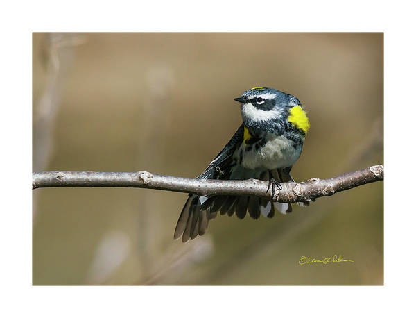 Photograph - Yellow-rumped Warbler Taking Flight by Edward Peterson