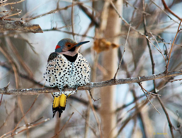 Wall Art - Photograph - Yellow-shafted Northern Flicker Staying Warm by Edward Peterson