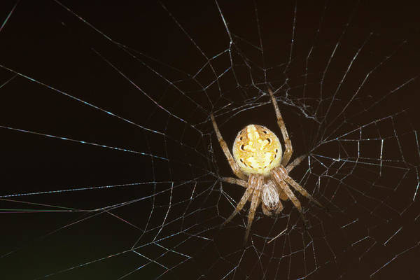 Photograph - Yellow Spider And Web by SR Green