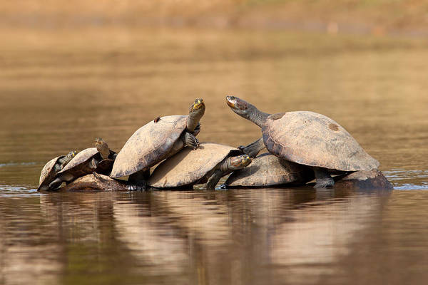 Photograph - Yellow-spotted Amazon River Turtles On Tree by Aivar Mikko