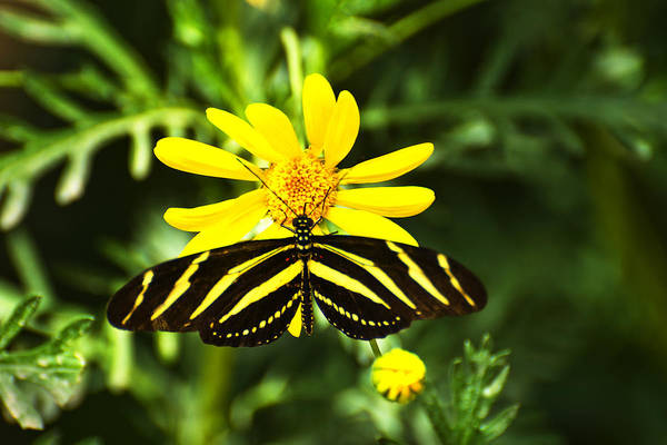 Photograph - Yellow Stripes On Yellow Flower by Richard Henne