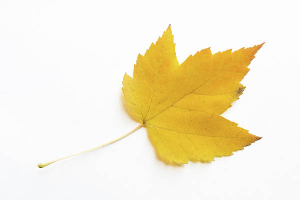 Acer Saccharum Photograph - Yellow Sugar Maple Leaf On White Background by Michael Russell