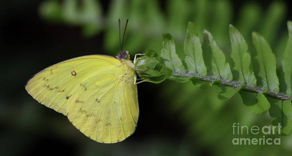 Sulfur Butterfly Wall Art - Photograph - Yellow Sulfur On Fern  by Ruth Jolly