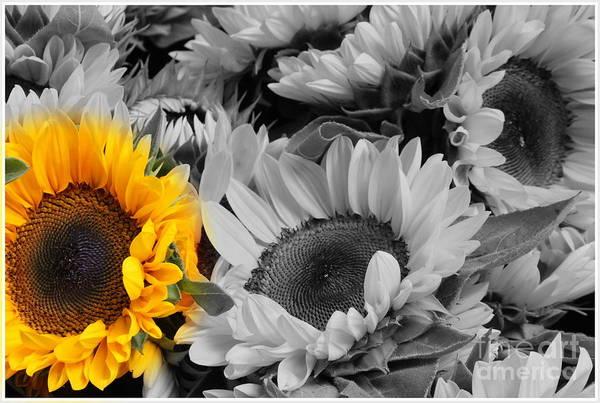 Wall Art - Photograph - Yellow Sunflower On Black And White by Dora Sofia Caputo Photographic Design and Fine Art