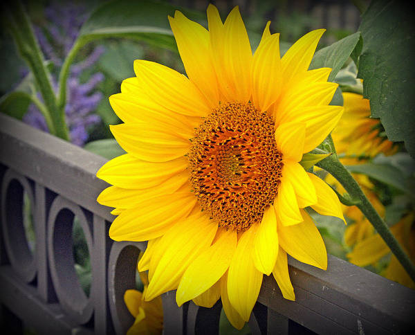 Sunflower Seeds Photograph - Yellow Sunflower On Iron Fence by Kay Novy
