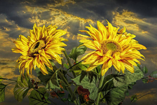 Photograph - Yellow Sunflowers With Sunbeams by Randall Nyhof
