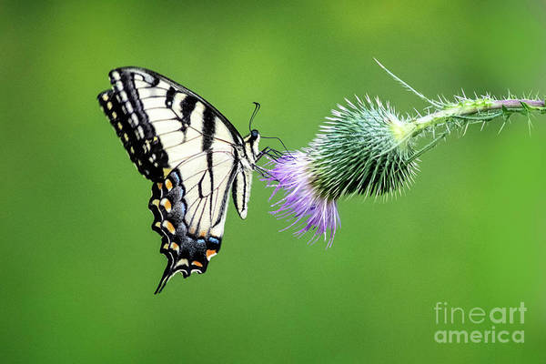 Wall Art - Photograph - Yellow Swallow Tail 2 by Todd Bielby