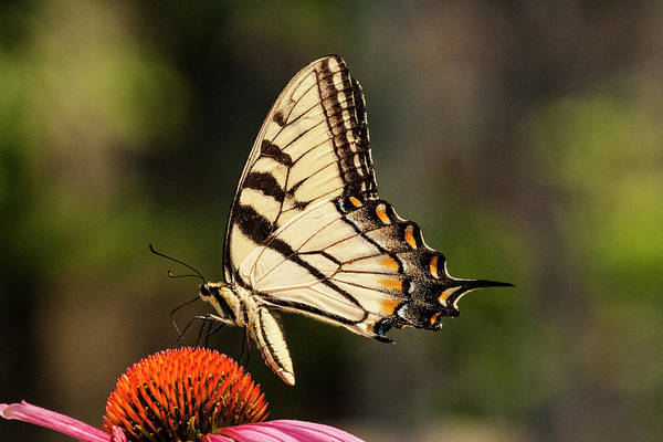 Photograph - Yellow Swallowtail 5 by Pete Federico