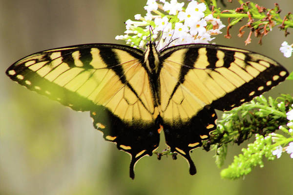 Photograph - Yellow Swallowtail 6 by Pete Federico