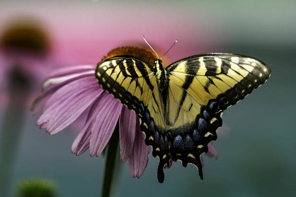 Photograph - Yellow Swallowtail Butterfly II by Pete Federico