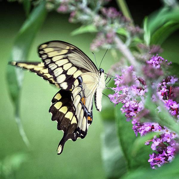 Wall Art - Photograph - Yellow Swallowtail by Winnie Chrzanowski