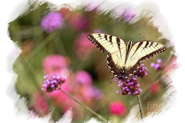 Photograph - Yellow Swallowtail With Brushed Edge by Eleanor Abramson