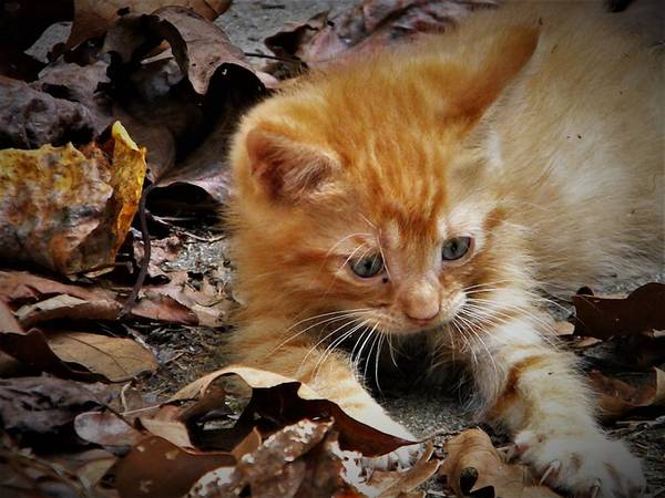 Photograph - Yellow Tabby Kitten by Ken Bradford