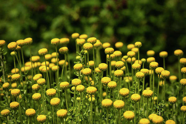 Photograph - Yellow Tansy by Nick Bywater