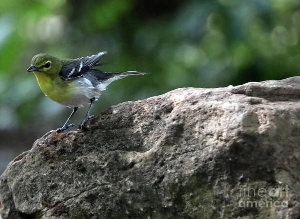 Wall Art - Photograph - Yellow-throated Vireo by Elizabeth Winter