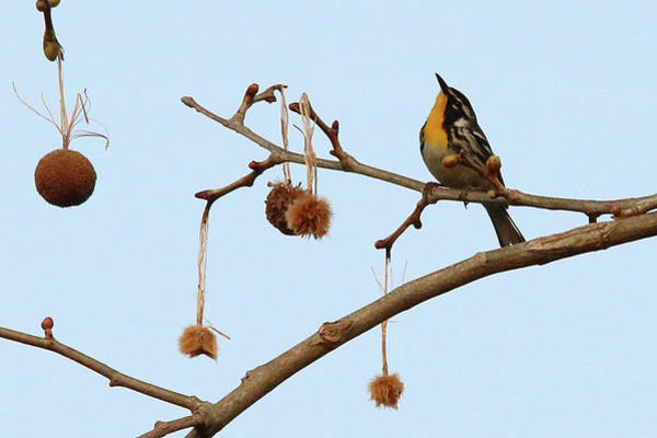 Photograph - Yellow-throated Warbler 0399 by Captain Debbie Ritter