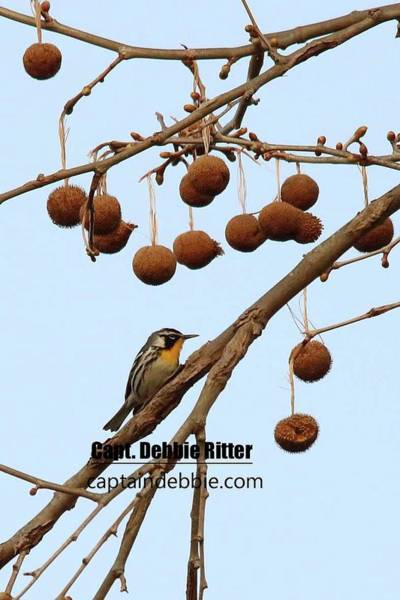 Photograph - Yellow-throated Warbler 0416 by Captain Debbie Ritter