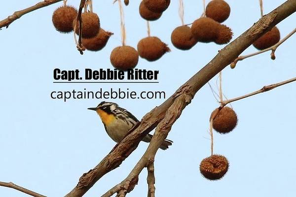 Photograph - Yellow-throated Warbler 0417 by Captain Debbie Ritter