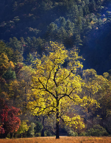 Photograph - Yellow Tree In Sunlight by Ken Barrett