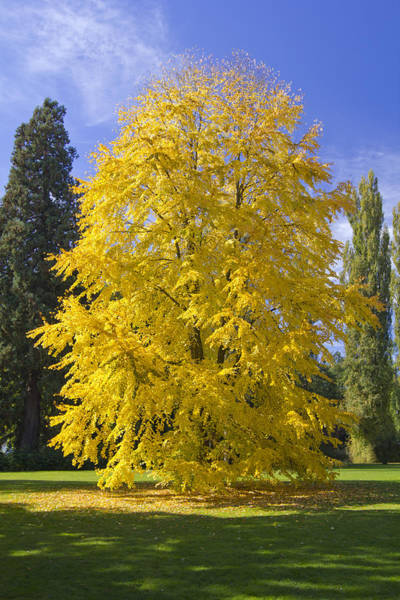 Photograph - Yellow Tree by Marc Huebner