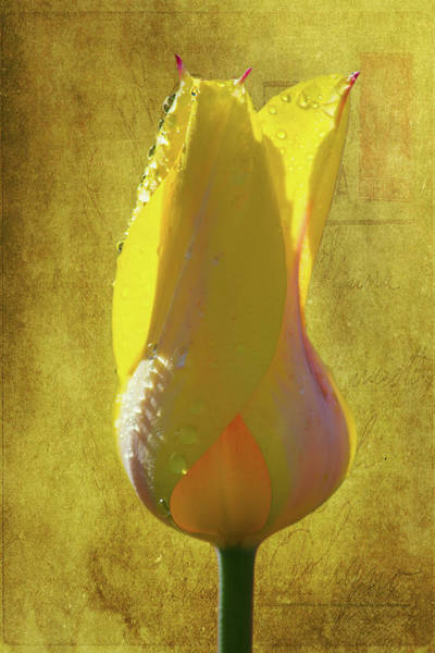 Wall Art - Photograph - Yellow Tulip 3 by Kevin O'Hare