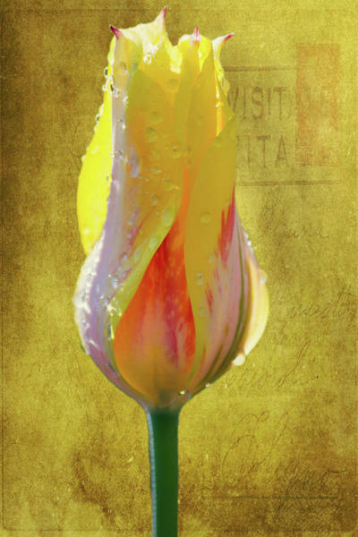 Wall Art - Photograph - Yellow Tulip 5 by Kevin O'Hare