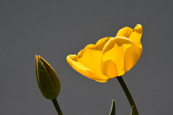 Photograph - Yellow Tulip And Bud by Randy J Heath