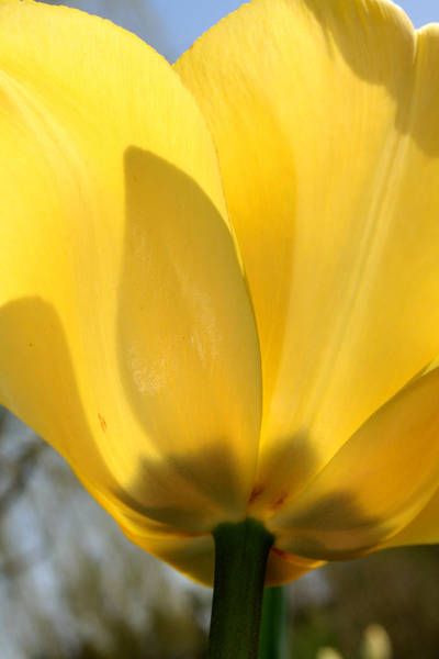 Photograph - Yellow Tulip by Laura Kinker