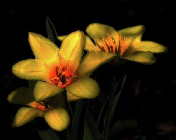 Photograph - Yellow Tulip Trio by John Feiser