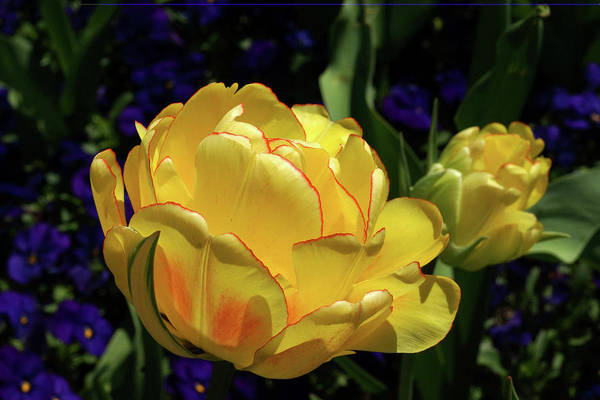 Photograph - Yellow Tulip With Red Rim by Cate Franklyn