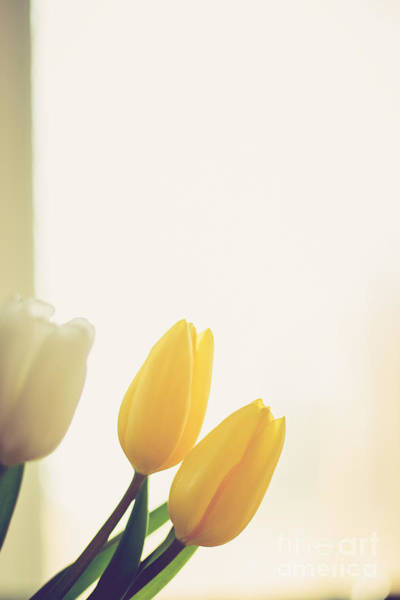 Treen Photograph - Yellow Tulips by Cheryl Baxter