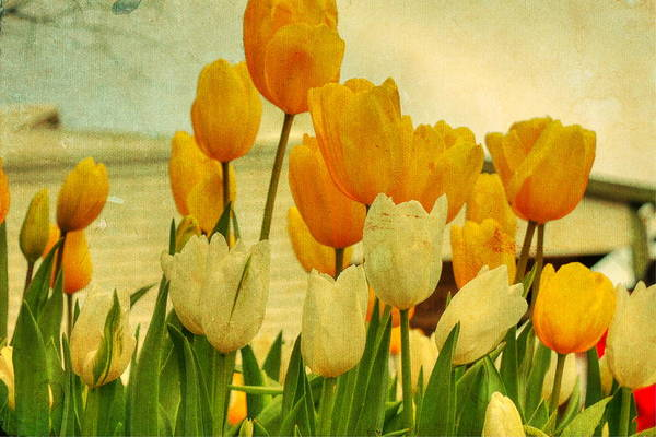 Yellow Tulips Art Print