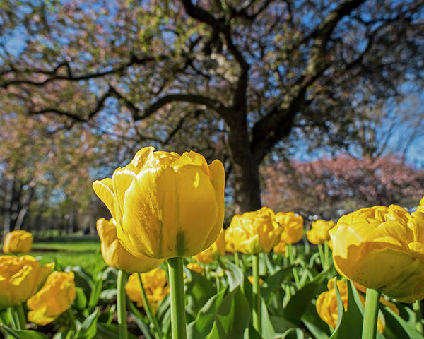 Photograph - Yellow Tulips In The Public Garden Boston Ma by Toby McGuire