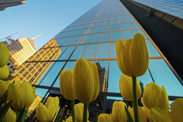Photograph - Yellow Tulips Looking Up At The Hancock Boston Ma by Toby McGuire