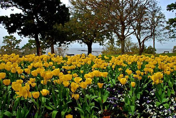 Painting - Yellow Tulips Of Fairhope Alabama by Michael Thomas