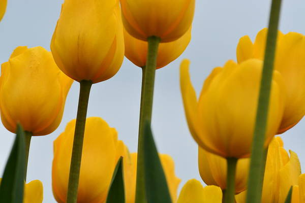 Photograph - Yellow Tulips by Randy J Heath