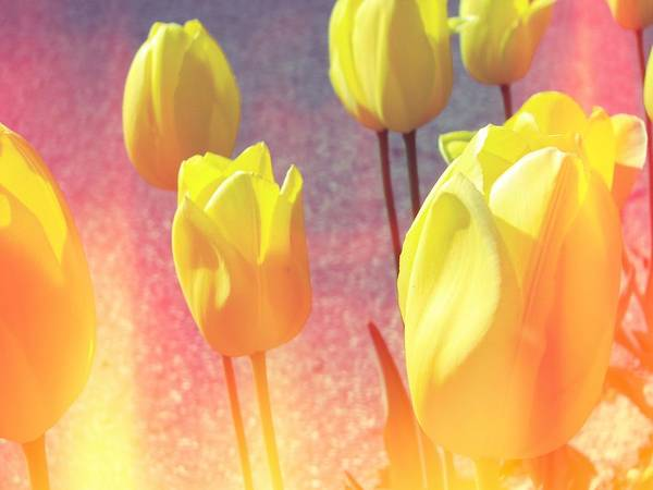 Photograph - Yellow Tulips With Pink by Michelle Calkins