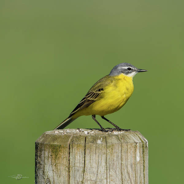 Photograph - Yellow Wagtail Perching On The Roundpole A Close-up by Torbjorn Swenelius