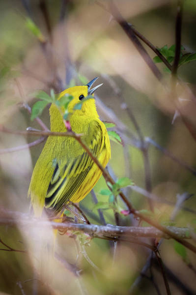 Photograph - Yellow Warbler 2018 by Bill Wakeley