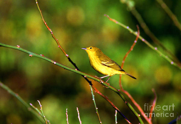 Photograph - Yellow Warbler Galapagos Islands by Thomas R Fletcher