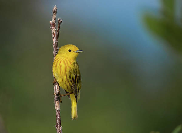 Photograph - Yellow Warbler by Tracy Munson