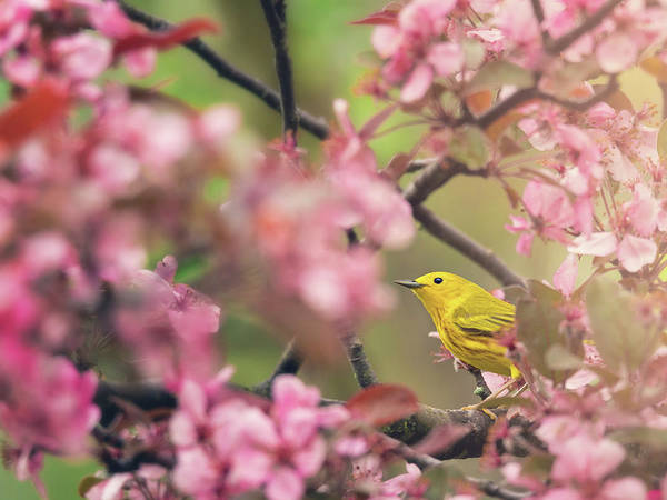 Photograph - Yellow Warbler With Cherry Blossoms by Tracy Munson