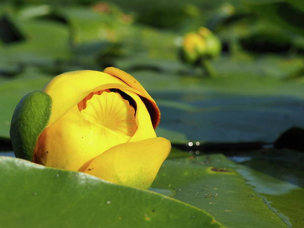 Photograph - Yellow Water Lily by James Peterson