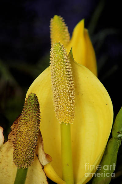 Photograph - Yellow Western Skunk Cabbage by Sue Harper