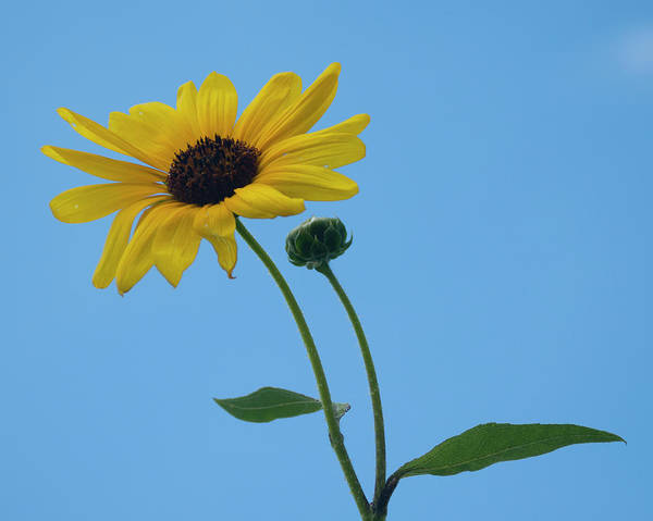 Photograph - Yellow Wild Flower by Brian Kinney