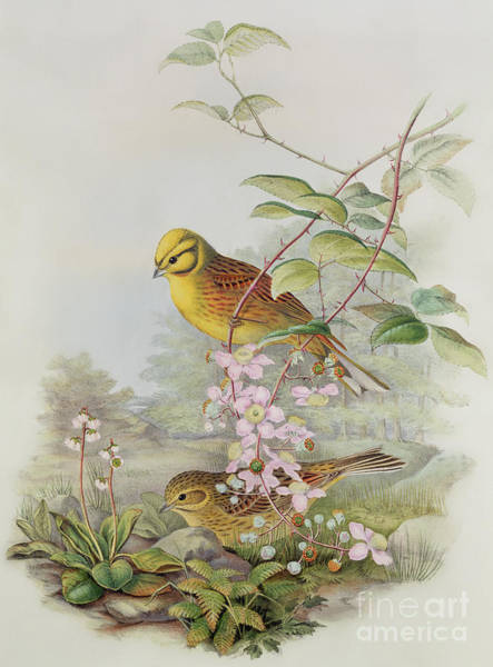 Northern Flicker Painting - Yellowhammer Or Northern Flicker by John Gould